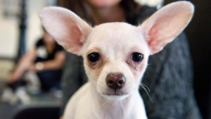A chihuahua named Taco takes a break at the Purina PawsWay indoor dog park in Toronto, Wednesday, March 4, 2015. (Galit Rodan/The Canadian Press)