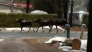 CTV Barrie: Moose on the loose