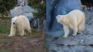 Polar bear brothers Hudson (left) and Humphrey (right) are shown in these supplied photos in their new home at the Toronto Zoo. (Source: Toronto Zoo)