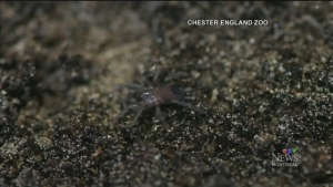 CTV Montreal: Trending: Spiders eat