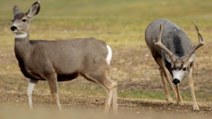 A mule deer buck shows interest in a doe on a fairway at the Anaconda Hills golf course in Great Falls, Mont., on Thursday, Nov. 15, 2007. (AP Photo/Great Falls Tribune, Robin Loznak)