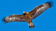 CTV National News: Golden Eagle migration