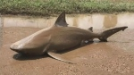Shark washes up on Australian road