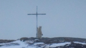 A polar bear stands at a cross in Wesleyville, N.L., on Wednesday, March 29, 2017. (THE CANADIAN PRESS/HO - Ocean View Photography, Jessica Power)