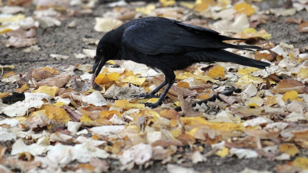 Crows have big brains relative to their size and have shown a remarkable knack for navigating oncoming traffic. (JACQUES DEMARTHON / AFP)