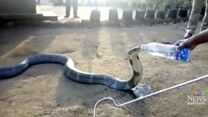 12-foot king cobra drinks from a water bottle in I