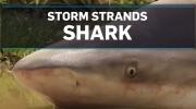Storm strands shark