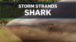 Storm strands shark