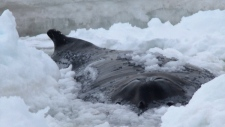 Humpback whale trapped off Old Perlican, N.L.