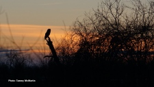 Great Grey owl enjoying the sunset. (Tammy McMartin/CTV Viewer)
