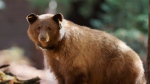 This Nov. 1, 2016 photo provided by Drew Wharton shows a female black bear wearing GPS collar in Yosemite National Park. (Drew Wharton via AP)