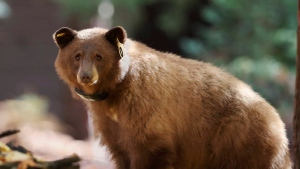 This Nov. 1, 2016 photo provided by Drew Wharton shows a female black bear wearing GPS collar in Yosemite National Park. (Drew Wharton via AP)