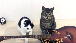 CTV Montreal: Musical cats