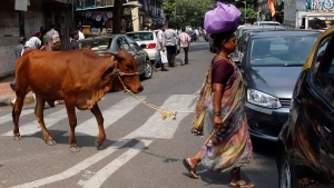 A woman leads her cow across a road in Mumbai, India, on Oct. 9, 2015. (Rajanish Kakade / AP)