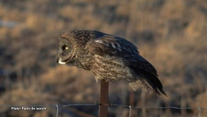 Great grey owl peering into the distance while perched on a fence. (Paolo De marchi/CTV Viewer)