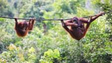 Orangutans from Sabah in Malaysian Borneo. (shalamov/Istock.com)