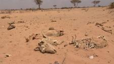 Bones in the desert of Somaliland