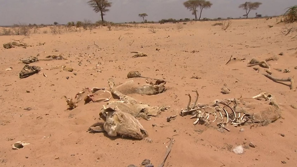 The bones of cattle in the desert of Somaliland