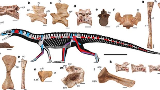 Skeletal anatomy of Teleocrater rhadinus (Nature)