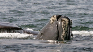 FILE - In this April 10, 2008 file photo, the head of a right whale peers up from the water as another whale passes behind in Cape Cod Bay near Provincetown, Mass. (AP Photo/Stephan Savoia, File)