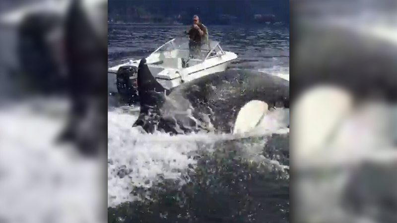 Six orcas were recorded chasing a frantic sea lion between a handful of boats and touring vessels in Howe Sound this week. April 11, 2017. (Elliot Funt/YouTube)