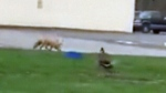 Caught on cam: Canada goose attacks American fox