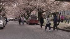 Cherry blossom admirers