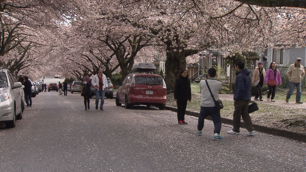 cherry blossom admirers swarm quiet east vancouver street. Black Bedroom Furniture Sets. Home Design Ideas