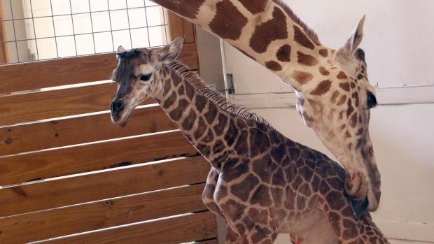 Giraffe's baby gives zoo a financial bump