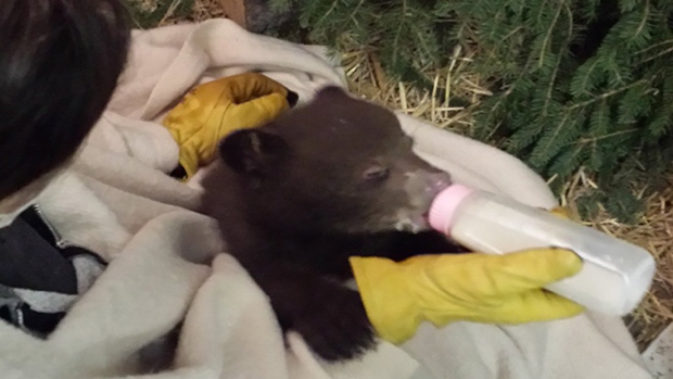 Three bear cubs found abandoned in a washroom in Banff made their way to Rosseau, Ont for rehabilitation at the Aspen Valley Wildlife Sanctuary, on April 16, 2017 (CTV Barrie Brandon Rowe)