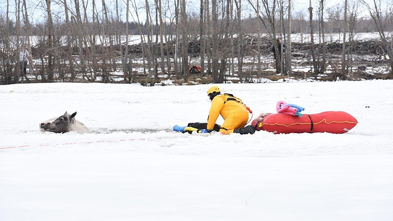 A rescuer on a frozen dugout off of Hwy. 43 west of Grande Prairie, trying to rescue one of seven horses trapped in the ice on Sunday, April 16, 2017. Courtesy: W. Vavrek