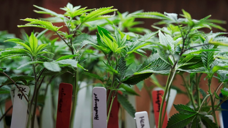 In this April 15, 2017 photo marijuana plants sit for sale on display in ShowGrow a medical marijuana provider in downtown Los Angeles. (Richard Vogel/AP Photo)
