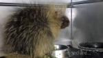 Snoring porcupine snores no more