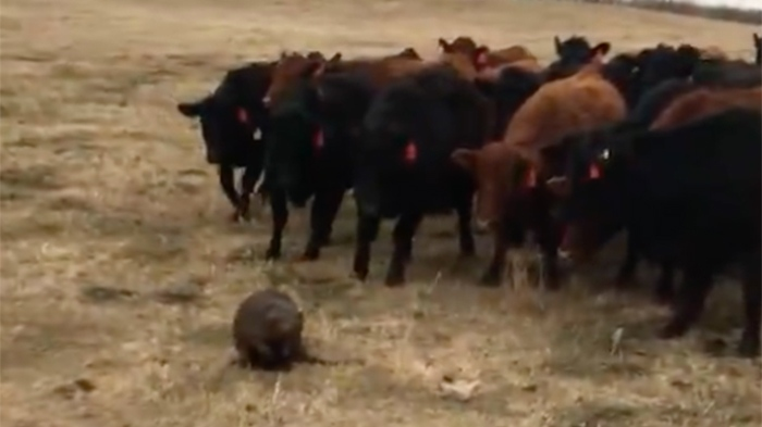 Adrienne Ivey posted a video of a beaver herding 150 heifers on the Saskatchewan ranch she owns with her husband.