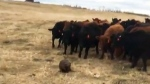 Beaver herds cows title