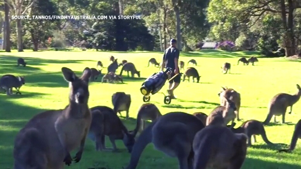 Kangaroos crowd australian golf course ctv news for Landscaping courses adelaide
