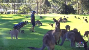 CTV Montreal: Kangaroos invade course