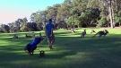 kangaroos invade a golf course