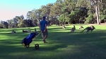 kangaroos invade a golf course