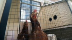 Urban chicken farming comes to Montreal's Rosemont borough for a two-year pilot project
