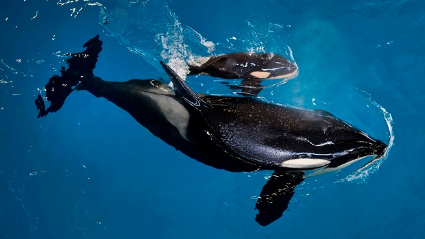 Last Killer Whale is Born at SeaWorld Park