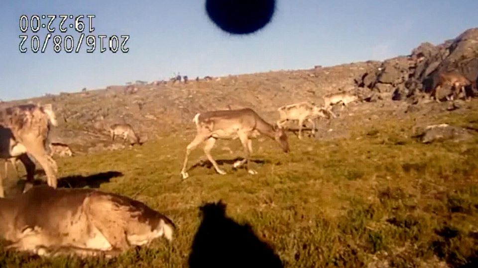An image from one of Laval University's caribou collar cameras is seen here.