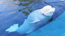 Park board releases draft of new bylaw prompted by beluga deaths