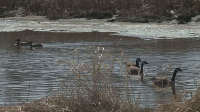 Geese are causing traffic troubles in Dieppe, where they are nesting in a pond in the middle of a traffic circle.