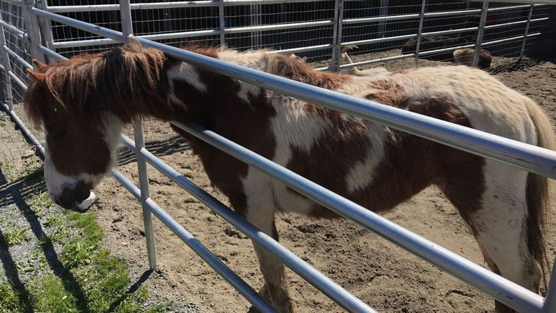 A horse seized by the BC SPCA from a Mission property is seen on Friday, April 21, 2017. (Breanna Karstens-Smith / CTV Vancouver)