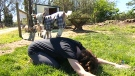 Saanich farm offering goat yoga classes