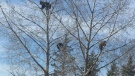 Employees at Clear Lake Golf Course spotted a momma bear and her cubs up in a tree on Wednesday. (Source: Clear Lake Golf Course)