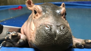 In this April 12, 2017 photo provided by the Cincinnati Zoo & Botanical Gardens, Fiona a prematurely born hippopotamus, swims in her quarantine enclosure at the Cincinnati Zoo & Botanical Gardens in Cincinnati. (Courtesy Cincinnati Zoo & Botanical Gardens via AP)
