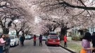 Thousands of people visit Vancouver streets to see the cherry blossoms trees, only in bloom a few weeks out of the year. (CTV News)