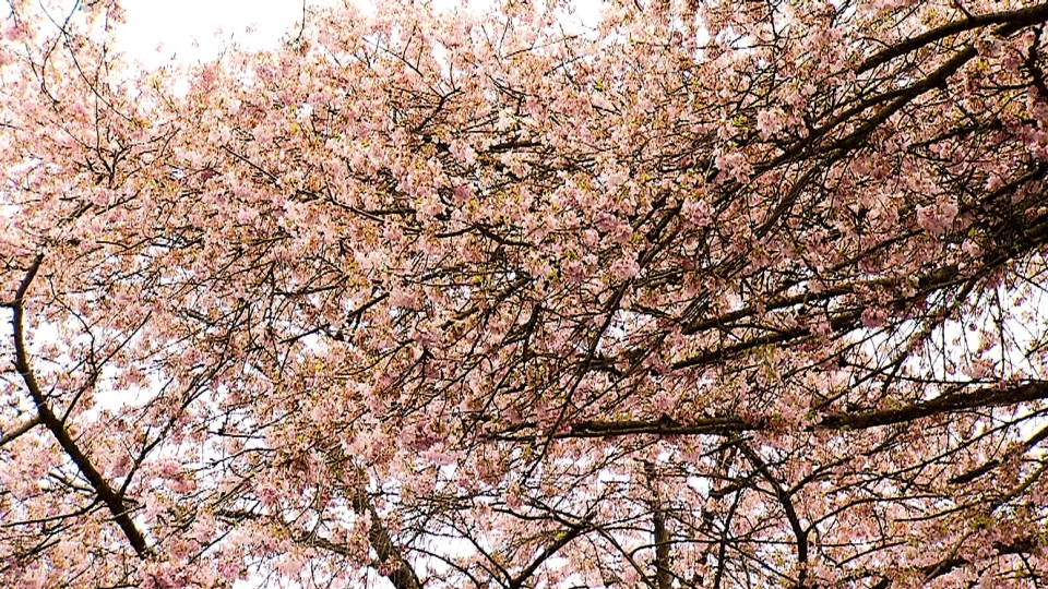 There are at least 40,000 cherry blossom trees throughout the city of Vancouver. (CTV News)
